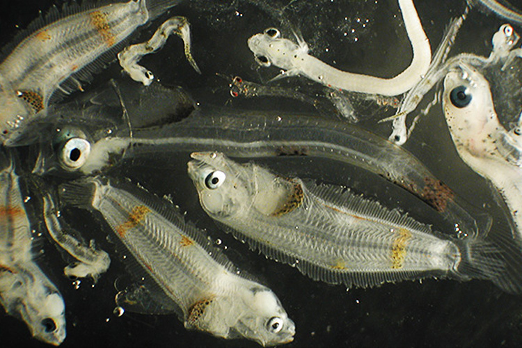 Northern Rock sole Larvae