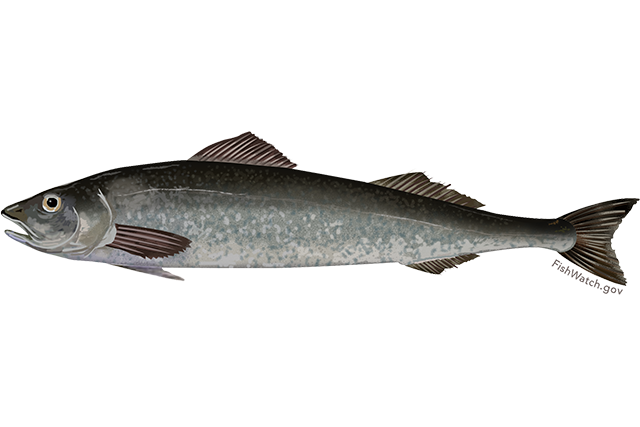 Sablefish illustration