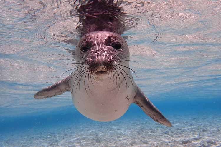Hawaiian monk seal swimming in the ocean.