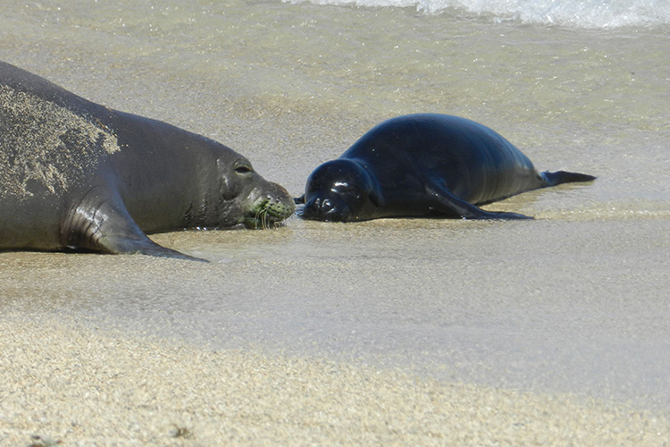 Hawaiian monk seal with her pup on the beach.