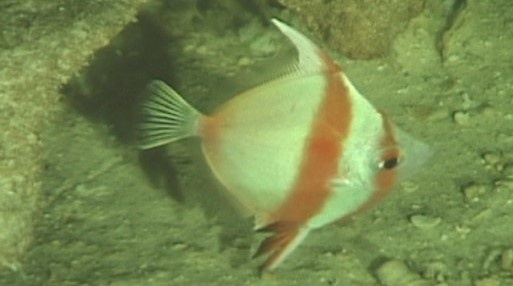 Antigonia eos found in the lower rariphotic zone (240–319 m). Photo courtesy of Hawaiʻi Underwater Research Lab.