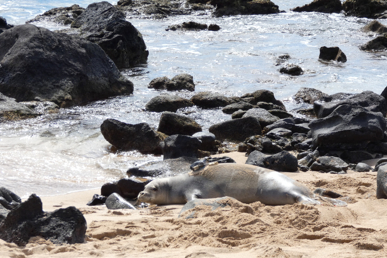 Monk seal with camera.