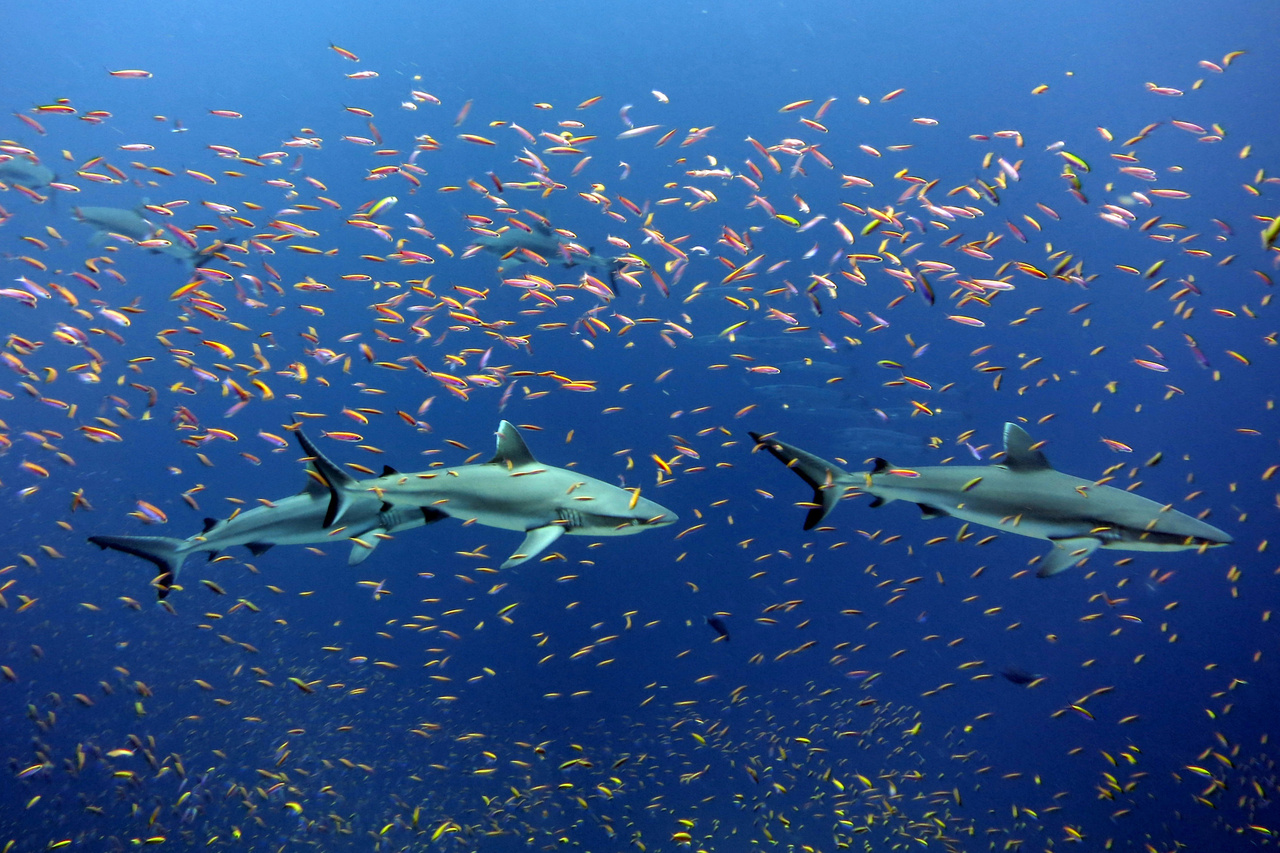 Sharks swimming near Jarvis Island