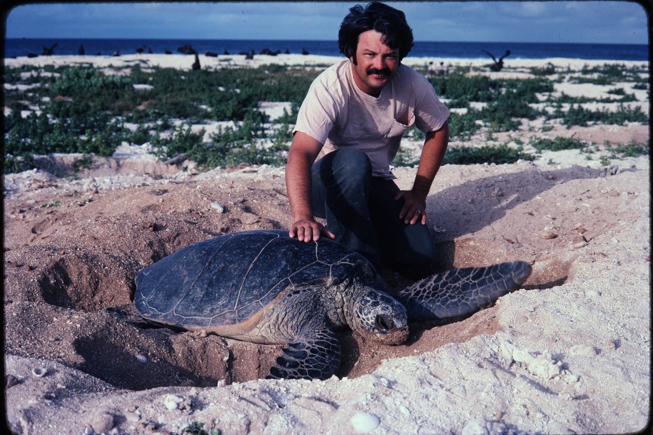 George Balazs with a nesting green turtle in the French Frigate Shoals in the 1970s. Credit: George Balazs.