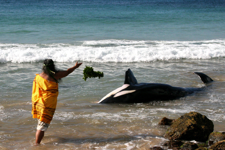 Hawaiian cultural practitioner performing traditional cultural practices for deceased whale in the ocean.