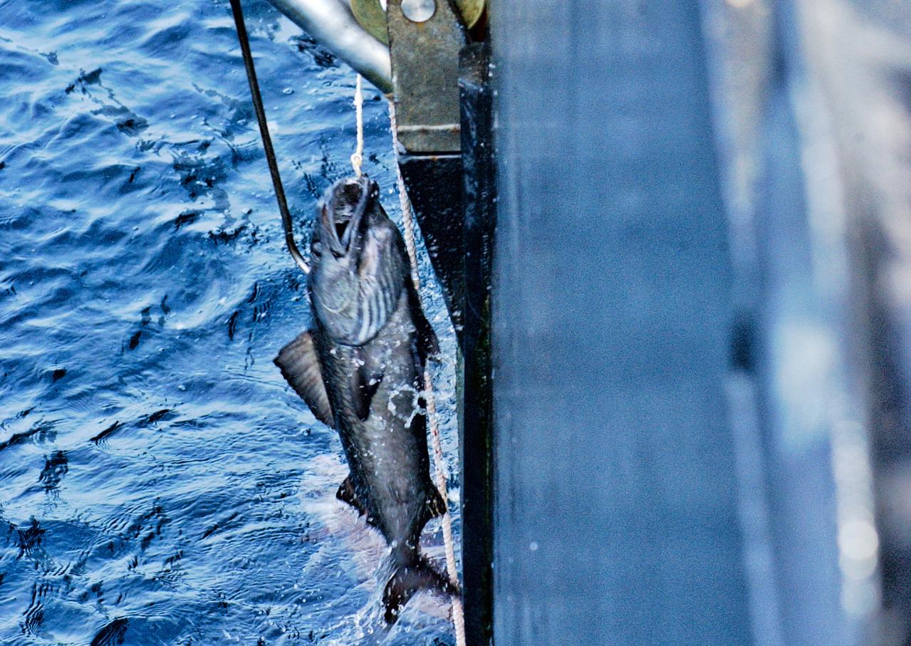 Alaska Sablefish.