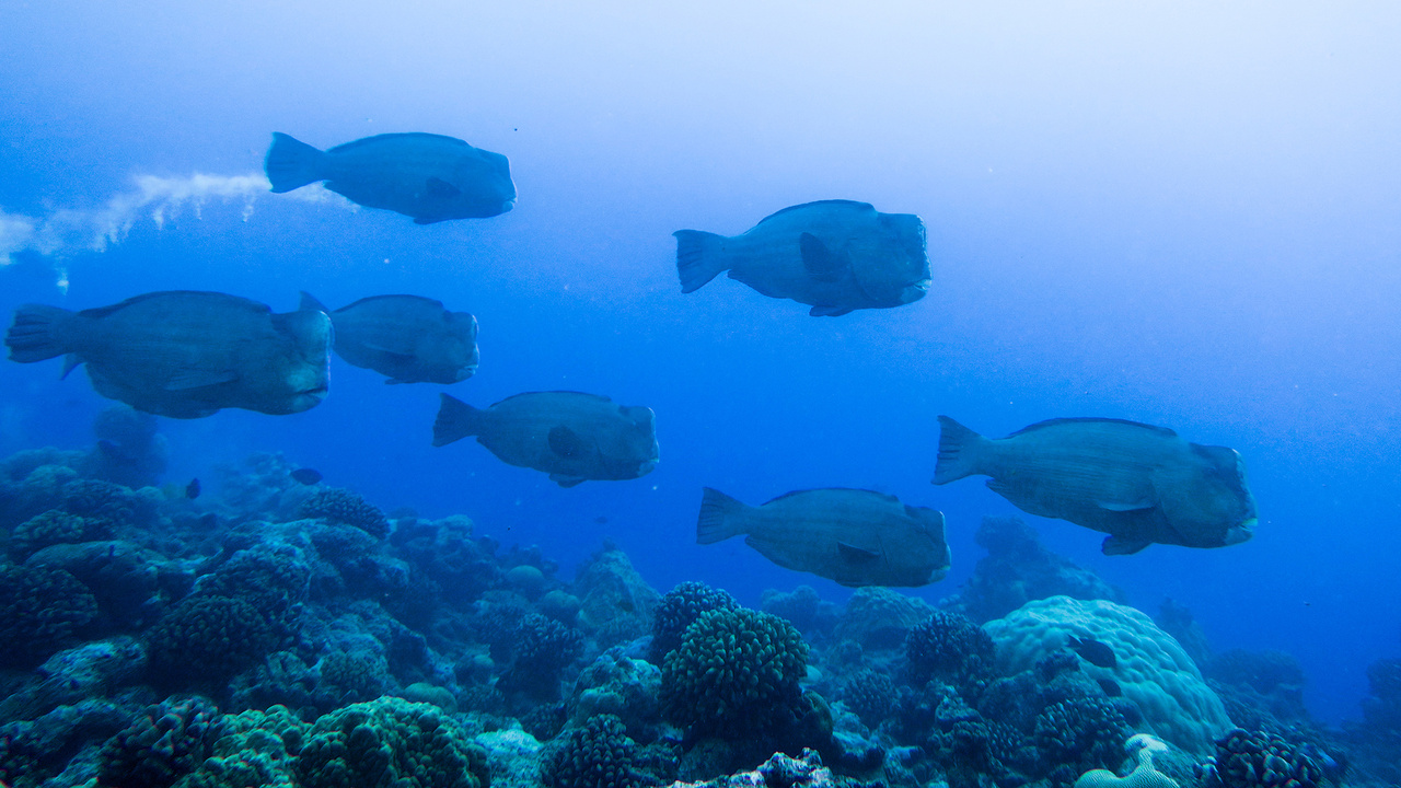 School of Bumphead parrotfish at Wake Atoll