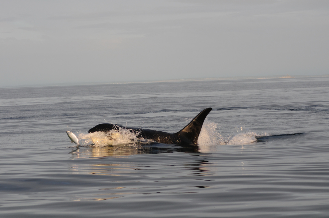 An endangered Southern Resident killer whale hunts salmon in the inland waters of Washington.