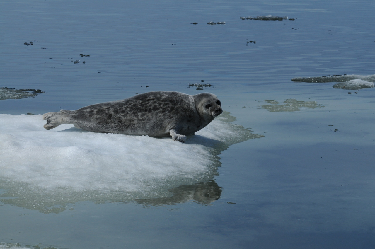 Ringed seal hauled-out on sea ice in Kotzebue Sound, Alaska.