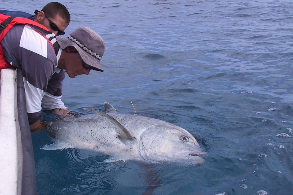 Harvey  Walsh reaching over the side of a boat to tag a giant trevally, or ulua.