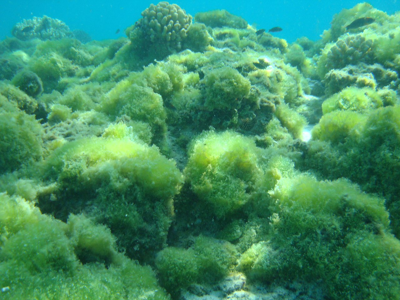 Alga Boodlea dominated many areas of the Kure Atoll lagoon