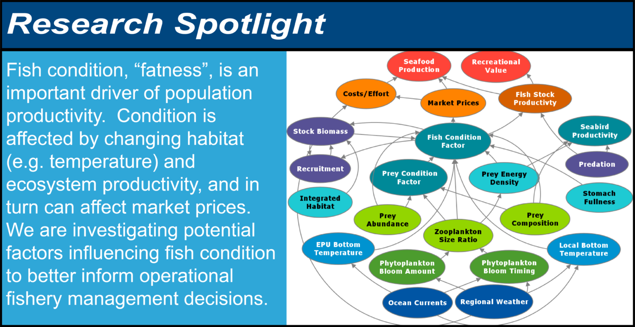 "Infographic showing the research spotlight on fish condition. Fish condition, ""fatness,"" is an important driver of population productivity. Condition is affected by changing habitat (e.g. temperature) and ecosystem productivity, and in turn can affect market prices. We are investigating potential factors influencing fish condition to better inform operational fishery management decisions. The diagram shows possible relationships between oceanographic and habitat indicators, food web indicators, fish condition factor, fish population indicators, fishery economics indicators, and fishery objectives such as seafood production."