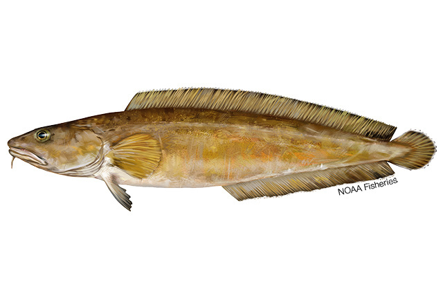 Cusk fish illustration