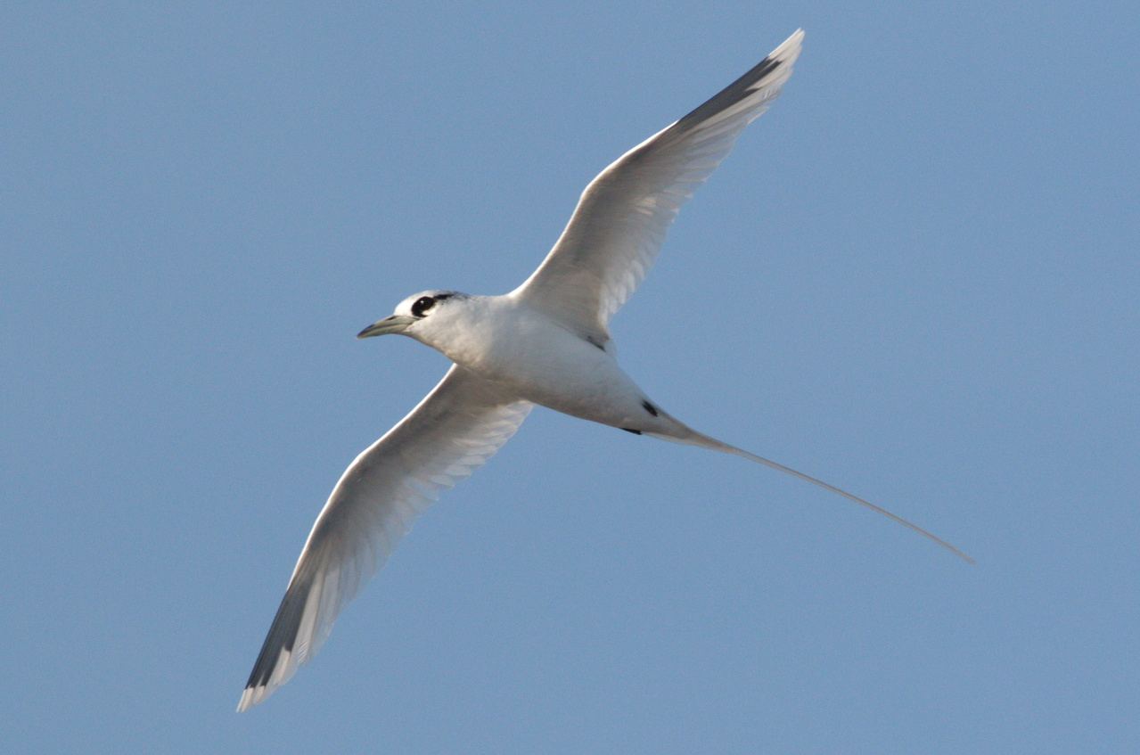 "A curious white-tailed tropicbird does a ""fly-by"" over the Sette. Tropicbird tails can be up to 18 inches long! Photo: NOAA Fisheries/Michael Force."