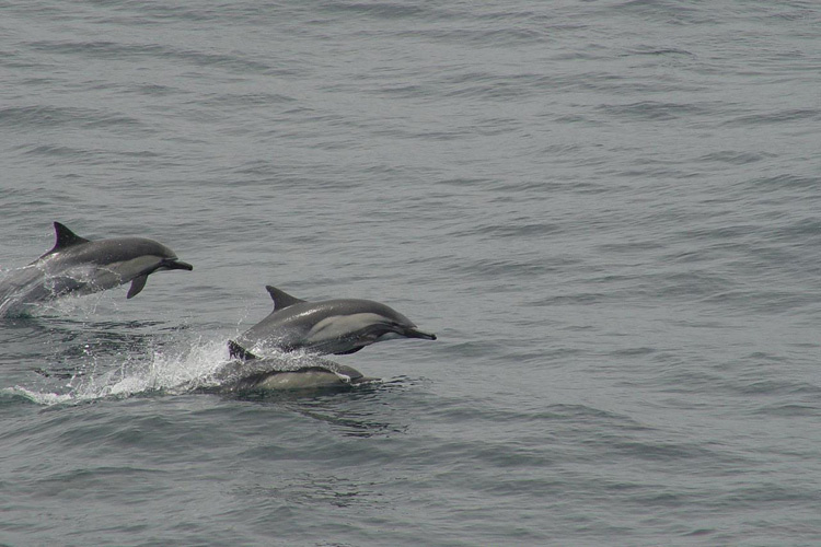A group of long-beaked common dolphins jumping out of the water.