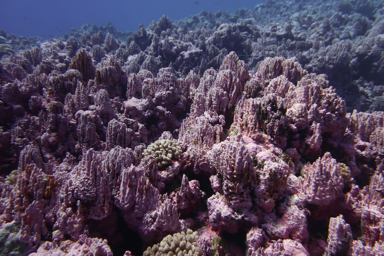Here is an underwater shot of crustose coralline algae. Usually it hugs the substrate, but with these superb growing conditions, it grows up! (Photo: NOAA Fisheries/Kaylyn McCoy)