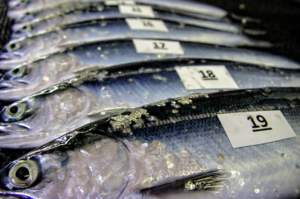 Sockeye salmon juveniles