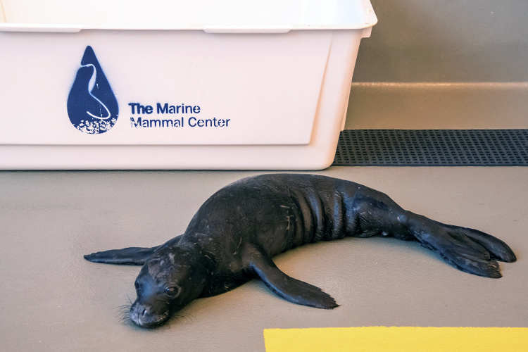 Juvenile monk seal pup in resting pen.