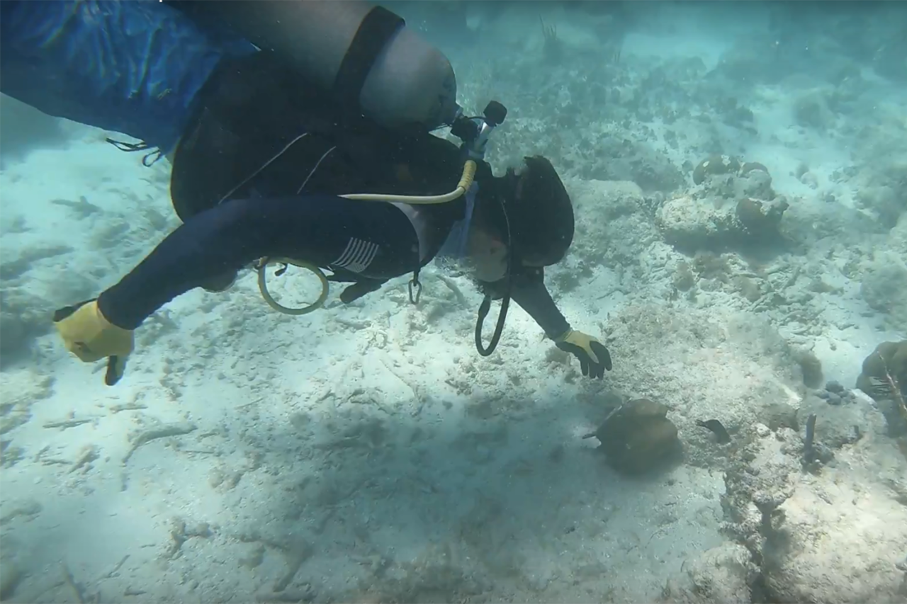 Force Blue diver at Mosquito Reef, Vieques works to collect a coral head broken off its base, for reattachment.
