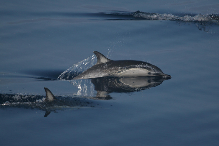750x500-short-beaked-common-dolphin3.jpg