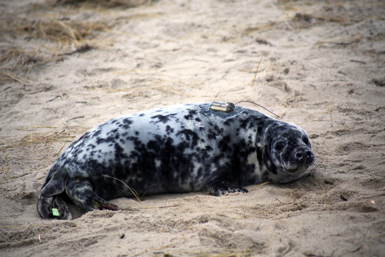 gray seal pup lying on beach with tags