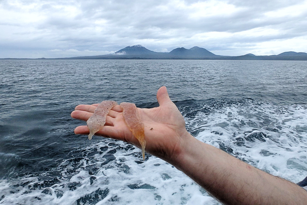 Pyrosomes caught off the coast of Alaska