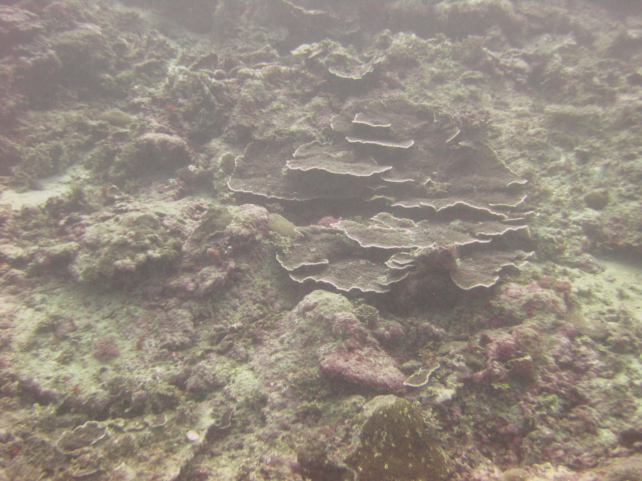 A coral reef in Faga'alu Bay in Tutuila, 2012, before mitigation measures were implemented to minimize sedimentation. Photo: NOAA Fisheries.