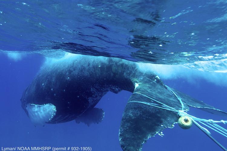 750x500-humpback-whale-entanglement-2013-lyman-NOAA-MMHSRP.jpg