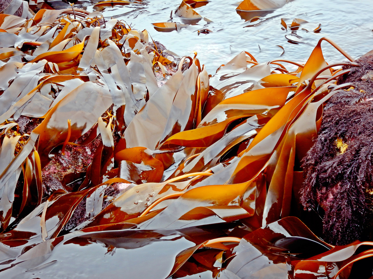 Kelps in the low intertidal along the Alaska Peninsula coastline.