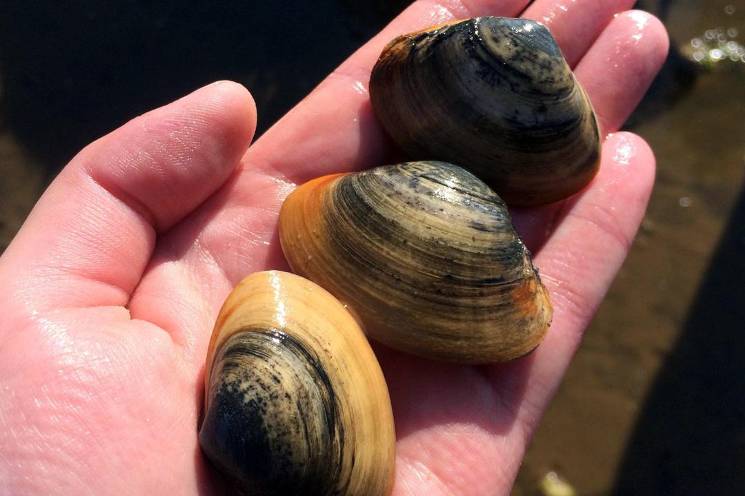 Atlantic surf clams. Credit: Woods Hole Sea Grant.