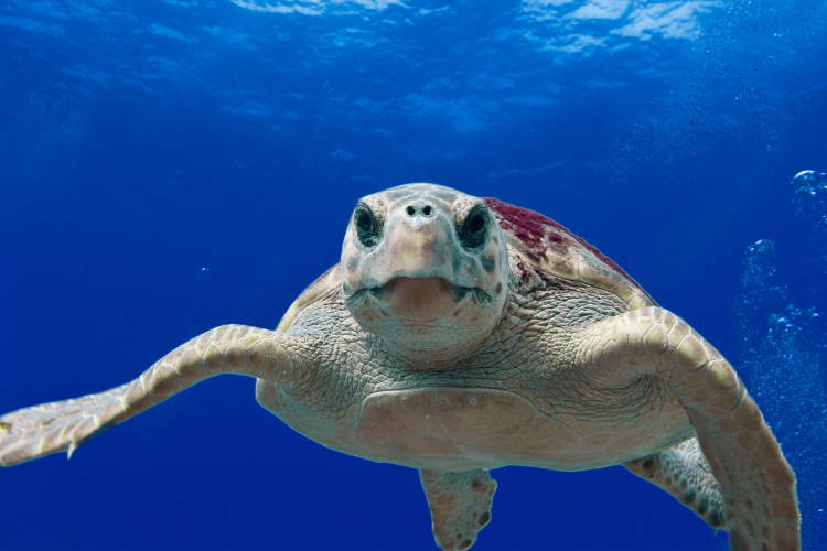 Up close with Loggerhead Sea Turtle T. Moore/NOAA_via_wikimedia_750_500.png