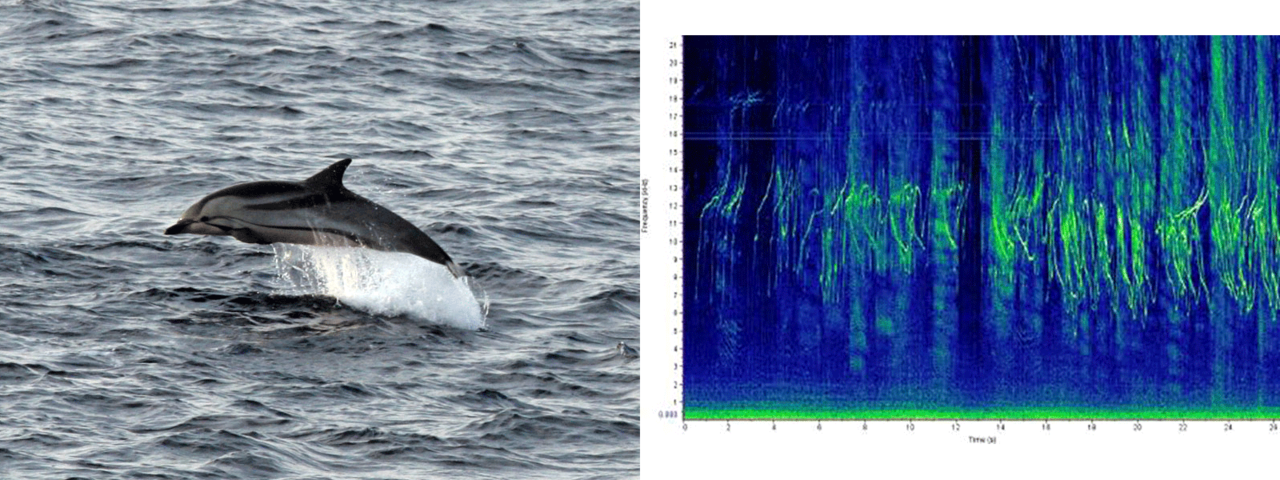 striped dolphin photo and sound chart
