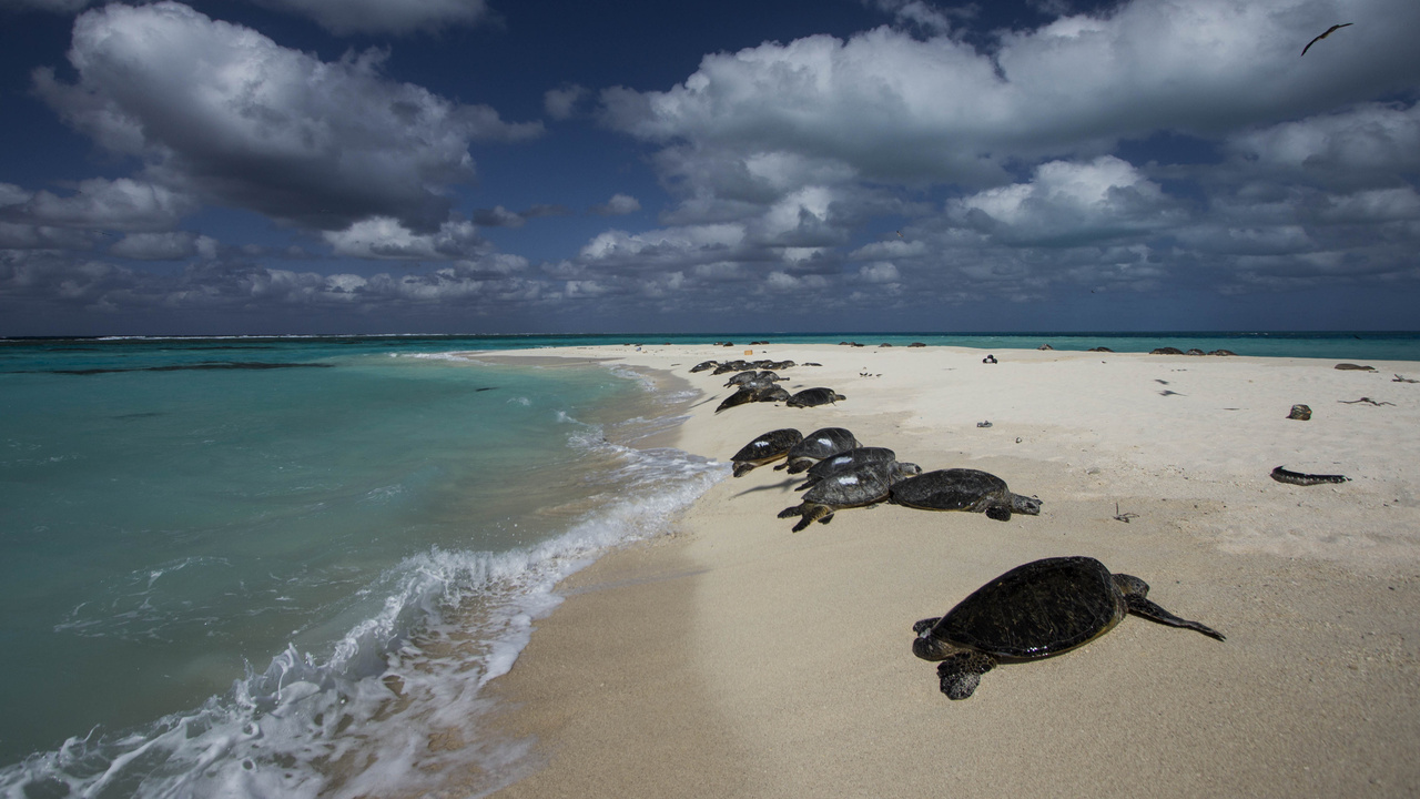 Basking turtles East Beach of French Frigate Shoals.