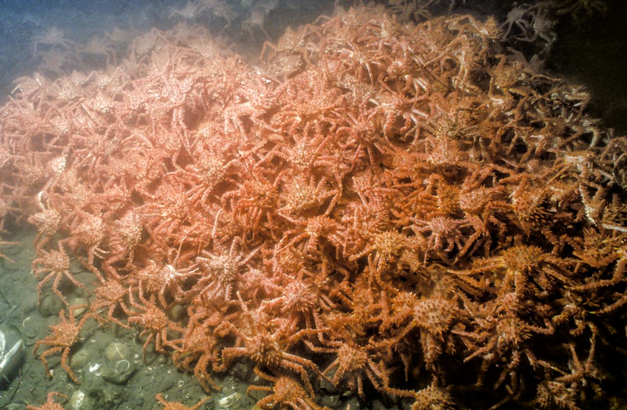 Alaskan Red king crab.