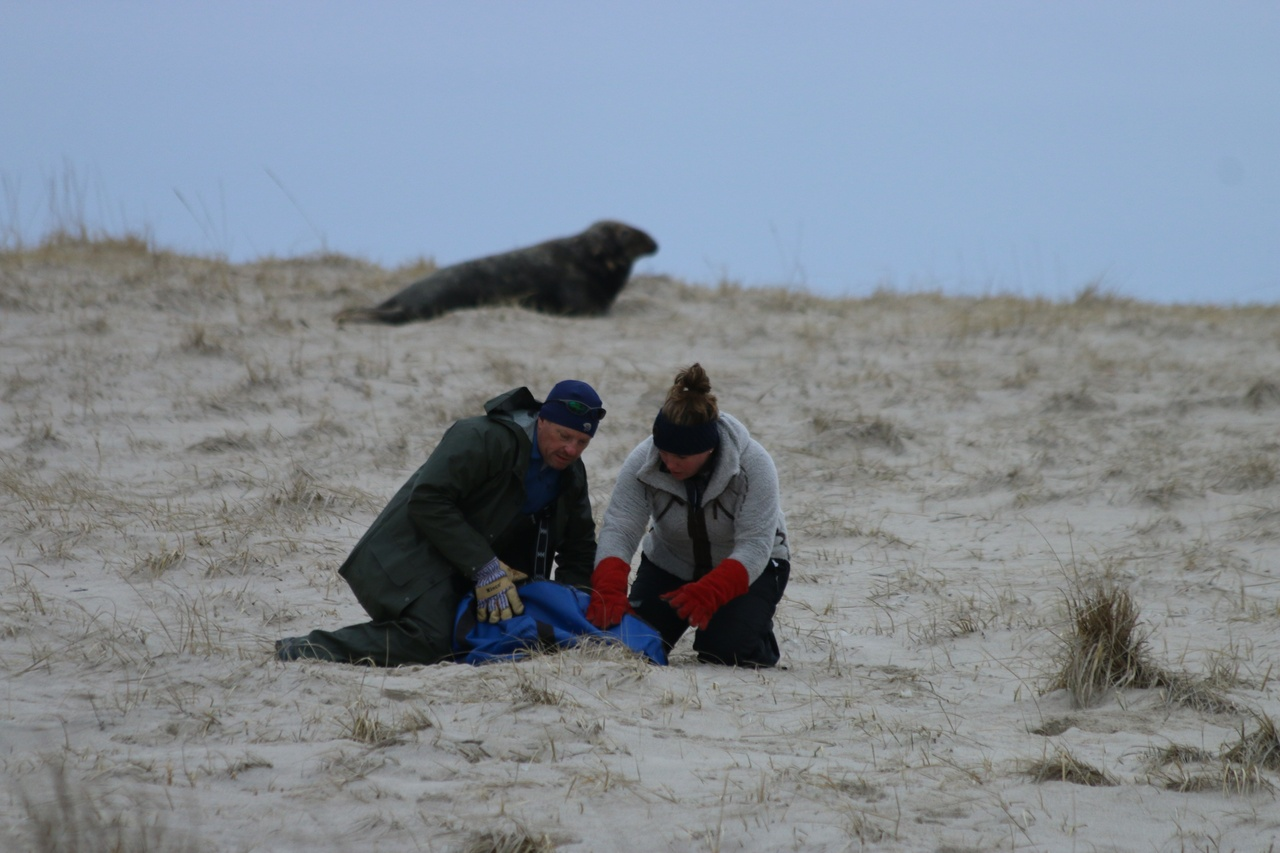 man and woman capture a seal for sampling on Monomoy