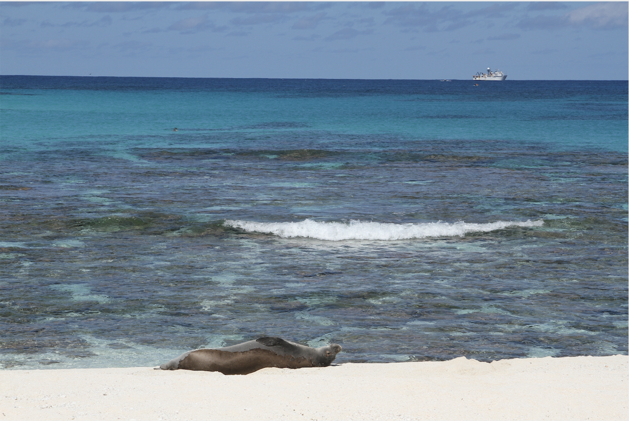 Hawaiian monk seal lies on beach with white ship in background.