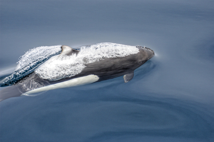 A Dall's Porpoise swims in Prince William Sound.
