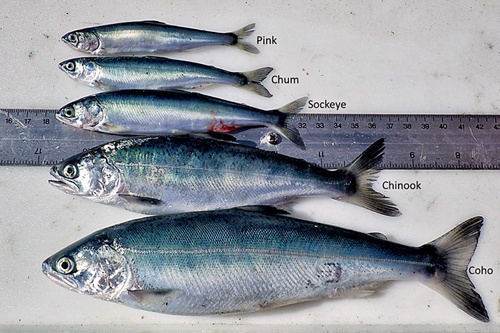Photo of Pink, Chum, Sockeye, Chinook, and Coho salmon arrayed for size measurement.