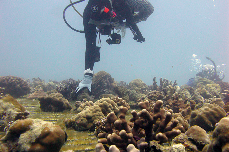 Intern in a diver suit gathering fragmented corals.
