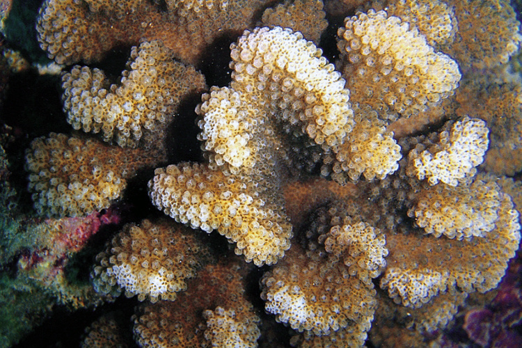 Colonies of cauliflower coral (Pocillopora meandrina).