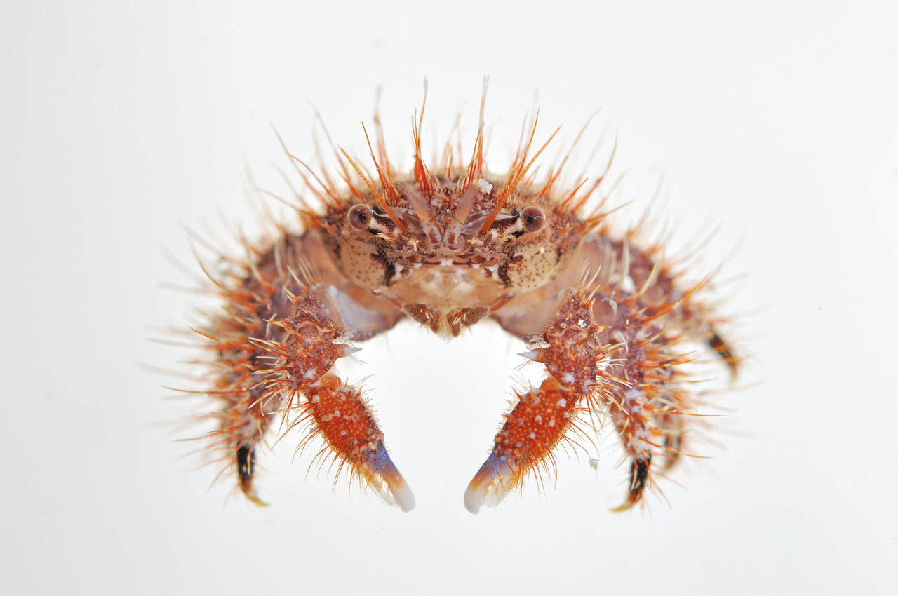 This crab regenerates both his shell and a new set of spikey chetae (hairs) every time he molts. (Photo: NOAA Fisheries/Evan Barba)