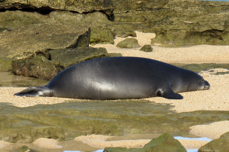 Hawaiian monk seal resting on the beach near rocks.