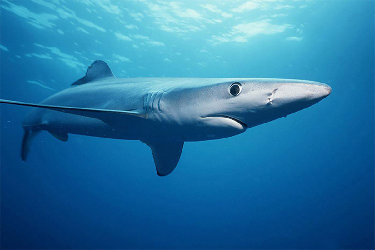 Blue shark swimming underwater.
