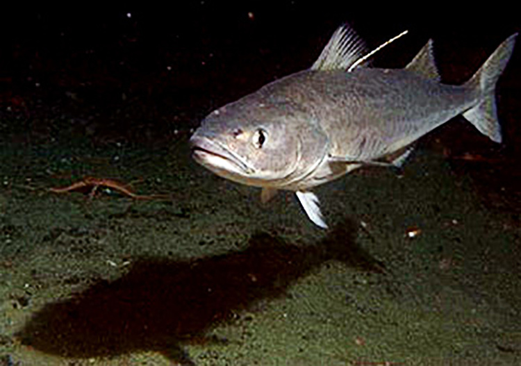 Juvenile sablefish with electronic sensor reward tag.