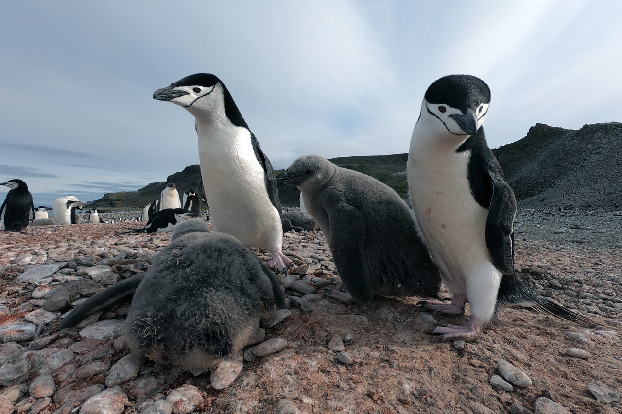 A pair of chinstrap penguins guarding two chicks on their nest. Credit: NOAA Fisheries.