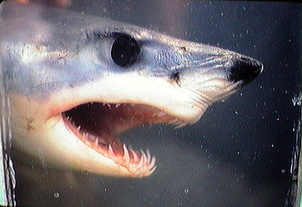 Photo of a shortin mako shark showing it's many teeth.
