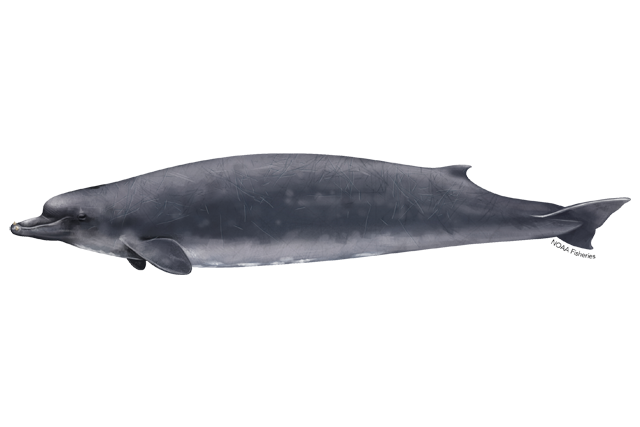 Baird's beaked whale illustration.