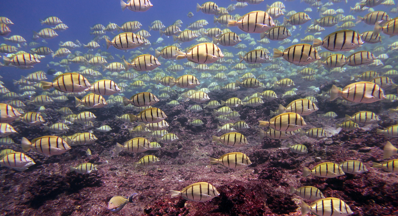 Thousands of convict tangs school in the shallows off Jarvis Island. These grazers travel over the reef, eating algae as they go. When these enormous schools cruise through a survey area, fish team divers have the challenging task of sizing and counting them. (Photo: NOAA Fisheries/Courtney Couch)