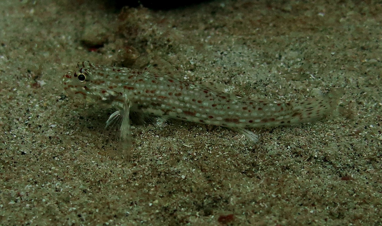 This goby has markings that help it blend in with its surroundings to avoid predators, making it hard to distinguish it from the sand. (Photo: NOAA Fisheries/Louise Giuseffi)