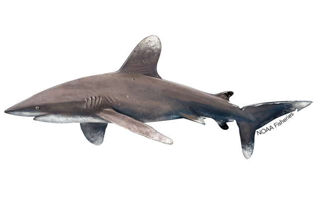 Oceanic whitetip shark illustration